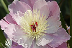 Pink american peony Royalty Free Stock Image