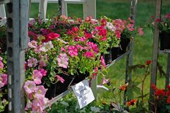 Pink ampel petunias in pots stand on the shelf for sale outdoors. Translated from Russian `Ampel petunia 0,5 liters 40 RUB Royalty Free Stock Photos