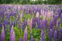 Free Pink And Purple Lupins In Arrowtown Stock Images - 72552444