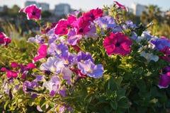 Free Pink And Purple Petunia Hybrida Stock Photos - 188797313