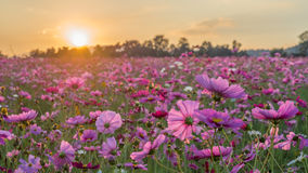 Free Pink And Red Cosmos Flower Field In The Morning Sunrise.Soft Focus And Blurred For Background Stock Image - 88057461