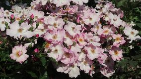 Free Pink And White Blossom Of The Wild Rose Stock Photos - 126030933