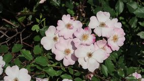 Free Pink And White Colours Of The Wild Rose Royalty Free Stock Images - 126139369