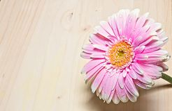 Free Pink And White Gerbera Flower Close Up On Wood Background Stock Photo - 113427850
