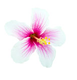 Pink And White Hibiscus Flower Isolated Stock Image