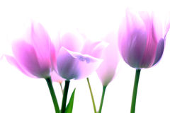 Free Pink And White Tulips Royalty Free Stock Photo - 46573255