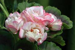 Pink And White Zonal Geranium Stock Photography