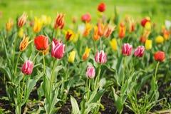 Pink And Yellow Beautiful Tulips Stock Photos