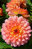 Pink And Yellow Dahlia Flowers Royalty Free Stock Image