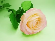 Free Pink And Yellow Rose Flower Royalty Free Stock Image - 18015546