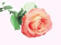 Free Pink And Yellow Rose Heart Closeup Royalty Free Stock Image - 14532566