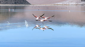 Pink Andean flamingos in flight. Three pink Andean flamingos taking off from and reflected in the turqoise waters of the high-altitude salt lake Laguna Santa Stock Images