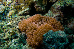Pink anemone. A striking pink sea anemone Stock Photography