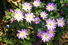 Pink anemone in blossom stock image