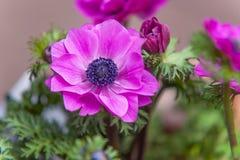 Pink Anemone close up Stock Photos