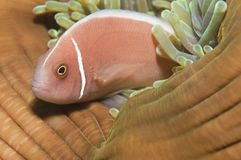 Pink anemone fish Stock Photography