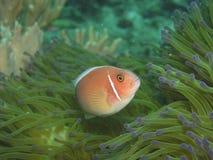 Pink anemone fish stock photo