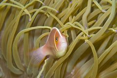 Pink Anemone fish (Amphiprion perideraion) Royalty Free Stock Photos