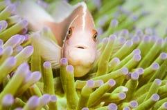 Pink anemone fish Royalty Free Stock Image