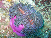Pink anemone fish in magnificent anemone Royalty Free Stock Photography