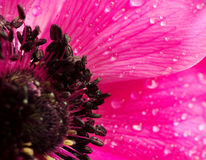 Pink anemone flower macro Royalty Free Stock Photo