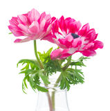 Pink anemone flowers Royalty Free Stock Photos