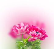 Pink anemone flowers Stock Images