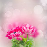 Pink anemone flowers Stock Photography