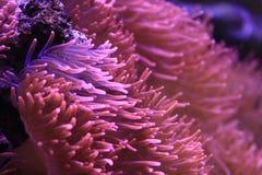 Pink anemone macro detail Stock Photography