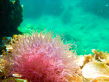 Pink anemone in the Mediterranean Royalty Free Stock Images
