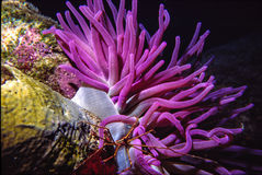 Pink Anemone. On reef bottom, with arrow Crab, among corals in the Caribbean Sea,  shot in Bonaire Royalty Free Stock Photos