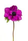 Pink anemone stock image