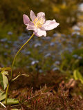 Pink Anemone tomentosa  with a stem and a blurred backgr Royalty Free Stock Image