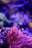 Pink anemone macro detail Royalty Free Stock Images