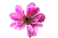 Pink Anemone on white. Background royalty free stock photos