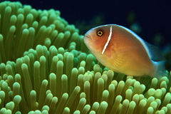 Pink Anemonefish Royalty Free Stock Photo