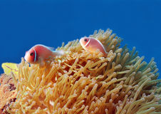 Pink Anemonefish. (Amphiprion Perideraion) in Anemone, Bunaken, Indonesia Stock Image