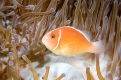 Pink Anemonefish. A pink anemonefish living in the tentacles of its host anemone Royalty Free Stock Image