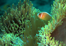 Pink Anemonefish. (amphiprion n perideraion stock photo