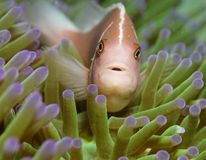 Pink anemonefish (Amphiprion perideraion). Skunk clown fish swimming in anenome royalty free stock images