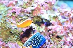 Pink anemonefish Stock Photo