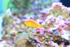 Pink anemonefish Royalty Free Stock Images