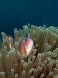 Pink anemonefish. Pink anemone fish in anemone Royalty Free Stock Images