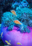 Pink Anemonefish Family. A family of Pink Anemonefish (Amphiprion perideraion), at home in a magnificent sea anemone, Heteractis magnifica in the warm waters of Stock Photography