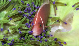 Pink anemonefish in green anemone. A pink anemone fish hides in a very green anemone Royalty Free Stock Image