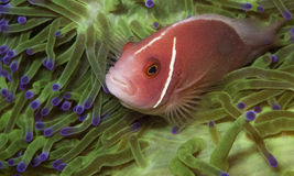 Pink anemonefish in a green anemone. Pink anemone fish sits in a very green anemone Royalty Free Stock Image