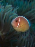 Pink Anemonefish. Macro portrait of a Pink Anemonefish in front of its host Anemone stock image