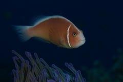 Pink anemonefish Royalty Free Stock Images