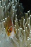 Pink anemonefish Stock Photography
