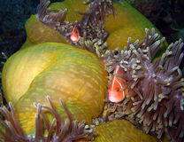 Pink Anemonefish & Tosa Commensal Shrimps Royalty Free Stock Images
